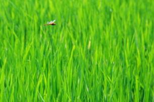 稲田と赤とんぼの飛翔 FYI00414777