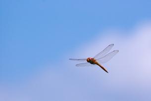 ナツアカネの飛翔と青空 FYI00414783