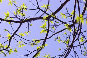 栗の木の新芽 FYI00415589