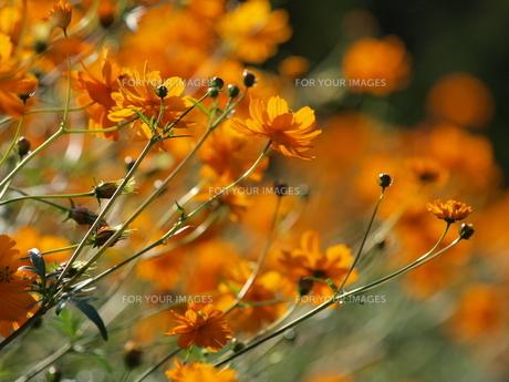 サニーオレンジ(キバナコスモス) FYI00417295
