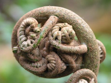 植物 巻きつく FYI00417428
