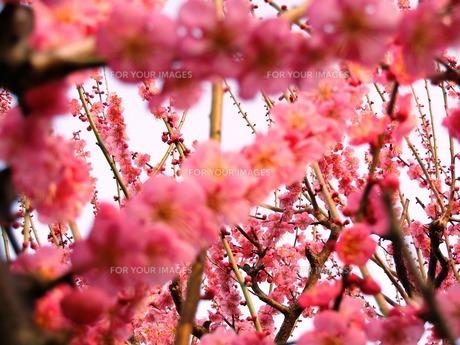 ピンクの梅 FYI00417545