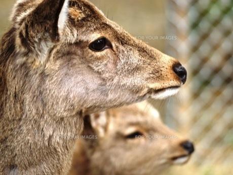 鹿 FYI00417619