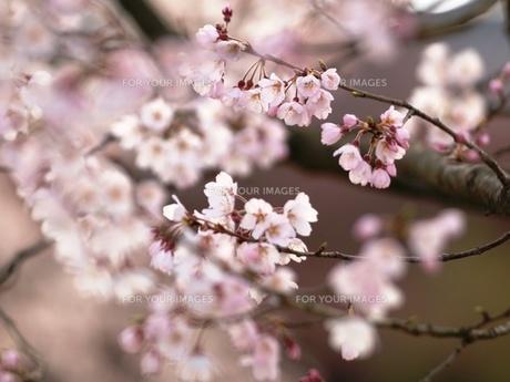 桜 FYI00417638