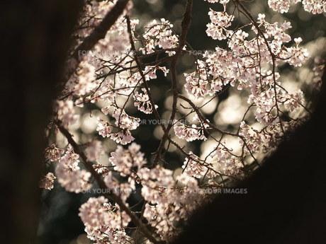 木立の間の桜 FYI00417640