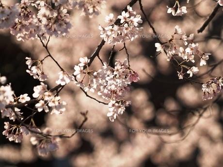 桜 FYI00417641