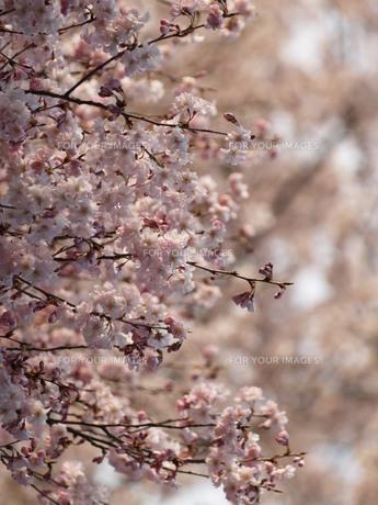 桜の風景 FYI00417646