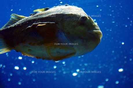 青い水槽の魚の素材 [FYI00417841]
