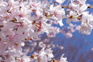 桜の素材 [FYI00417858]
