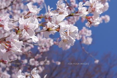 桜の素材 [FYI00417864]