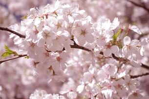 桜の素材 [FYI00417888]