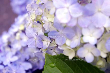 紫陽花 FYI00417900