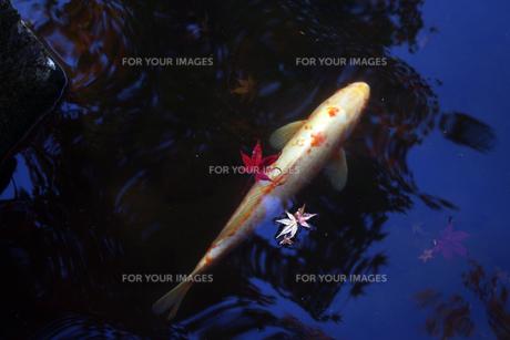 紅葉と鯉 FYI00417918