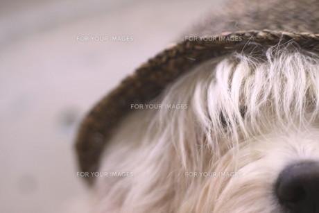 おしゃれ犬 FYI00417961