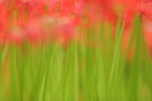 曼珠沙華のふわふわ色 FYI00418712