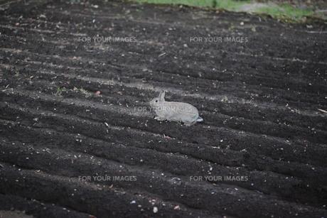 畑にいるウサギ FYI00418866