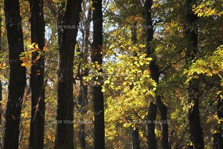 森の中の紅葉(黄色) FYI00418868
