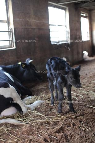 牛舎にいる親子のウシ、ナナメ構図 FYI00418873
