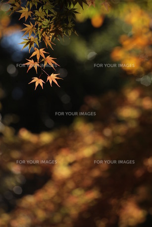 秋の森のモミジ(タテ) FYI00418876