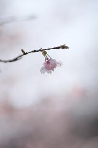 桜、一輪、朝。 FYI00418894