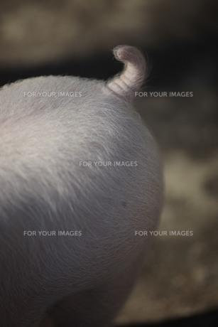 豚のしっぽ FYI00418898