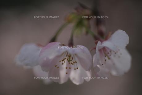 薄日の桜 FYI00418902