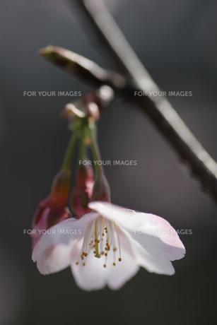 一輪の桜 FYI00418905