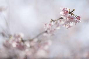 桜 FYI00418910