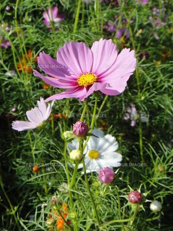 ピンク色のコスモスとつぼみ FYI00419313
