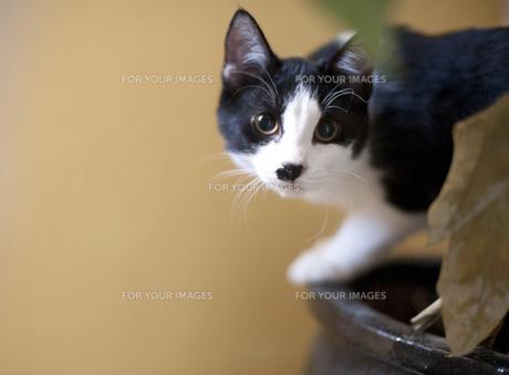 みつめる子猫 FYI00419536