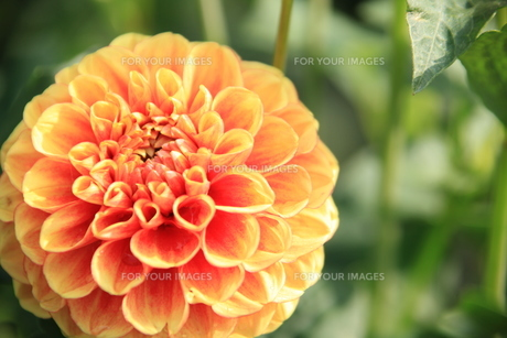 花 オレンジ FYI00420073