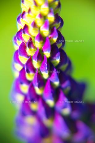 青い花 FYI00420074
