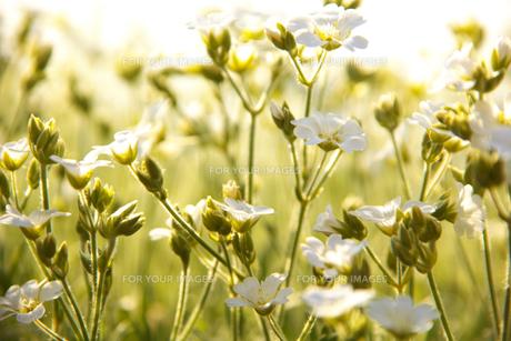 夕日に照らされる花 FYI00420083