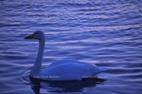 夕暮れの白鳥 FYI00420085