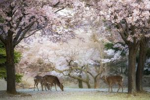 サクラと鹿の奈良公園 FYI00420767
