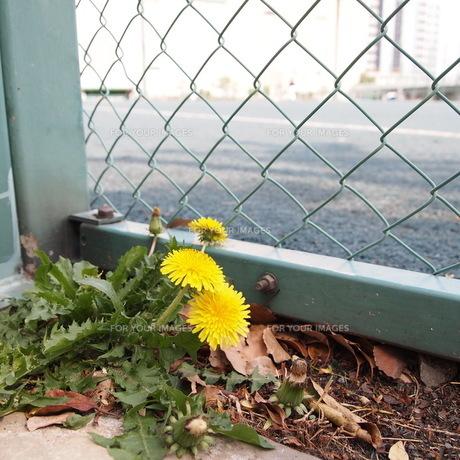 フェンス脇に咲くたんぽぽ FYI00421499