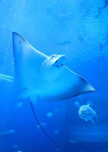 海中を泳ぐマンタ FYI00421747
