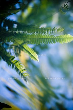水面の葉 FYI00422460
