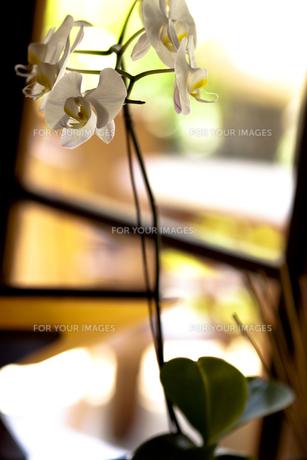 窓辺の胡蝶蘭 FYI00422502