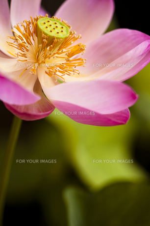 蓮の花 FYI00422532