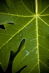 雨上がり、パパイヤの葉 FYI00422536