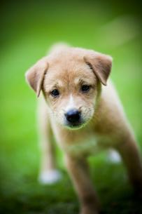子犬 FYI00422541