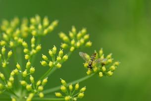パセリの花にハナアブ FYI00422821