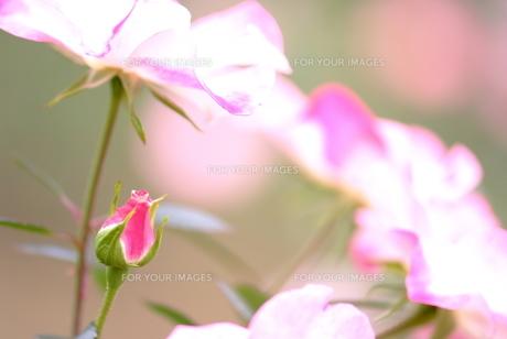 バラの花とつぼみ FYI00423266