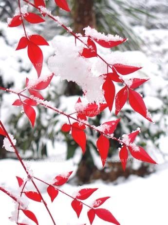 雪をかぶった南天の葉 FYI00423312