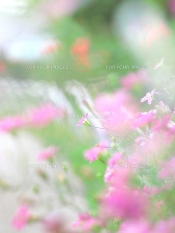 ピンクの小さい花 FYI00423504