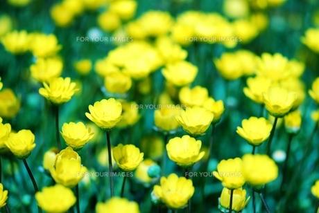 黄色いキクの花 FYI00423590