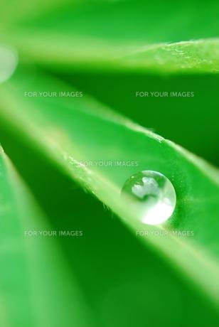 緑の葉の上の水滴  FYI00423595
