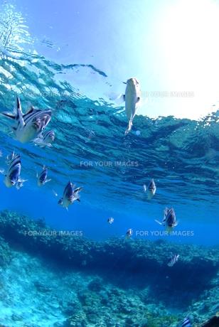 浅瀬の魚の群れ FYI00423737
