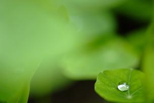 葉の上の水滴 FYI00423979
